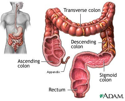 large intestine location and anatomy