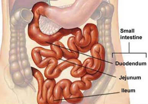 small intestine location and anatomy