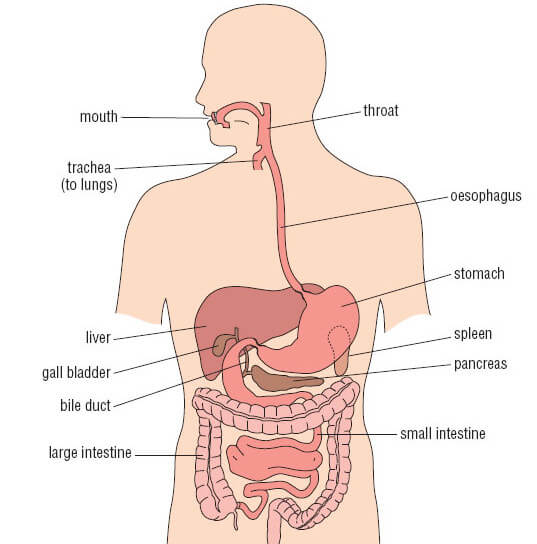 stomach location and its relations