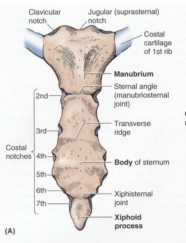 Anterior View of the Sternum anatomy image