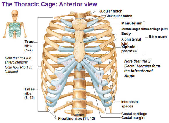 Anterior View of the anatomy Thoracic Cage photo