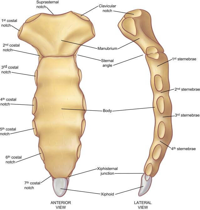 Anterior anatomy and Lateral Views of the Sternum picture