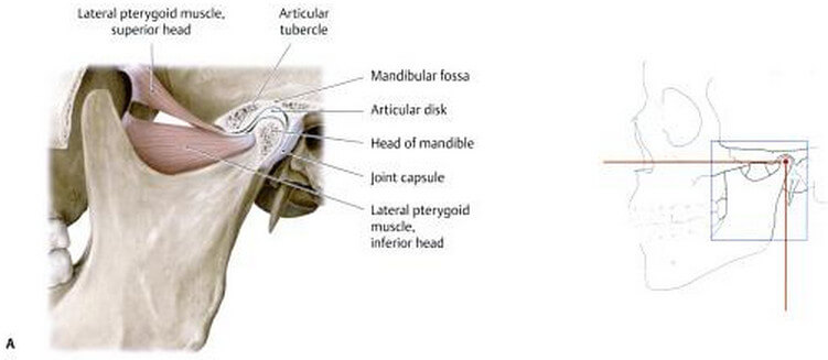 mandibular fossa - definition, location, function, fracture, Human Body
