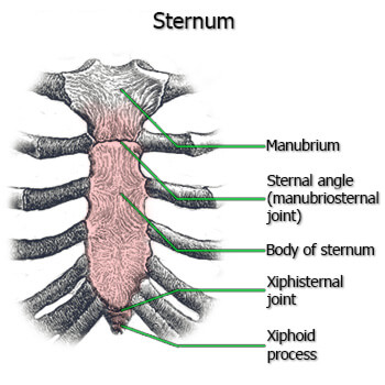 Joints of the Sternum anatomy image