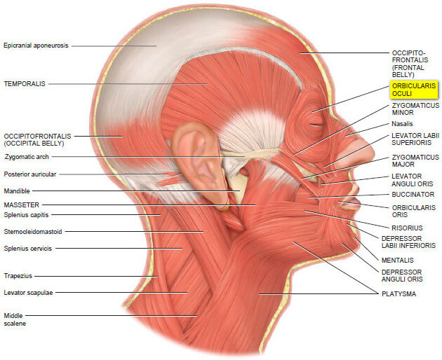 orbicularis oculi muscle - (origin and insertion) and function, Human body