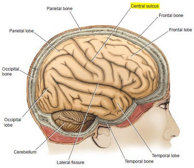central sulcus - definition, location (mri) and function, Human Body
