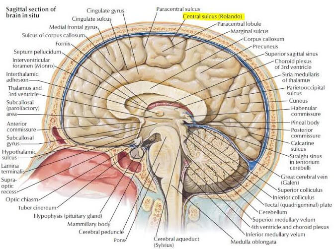 Central Sulcus Definition Location Mri And Function