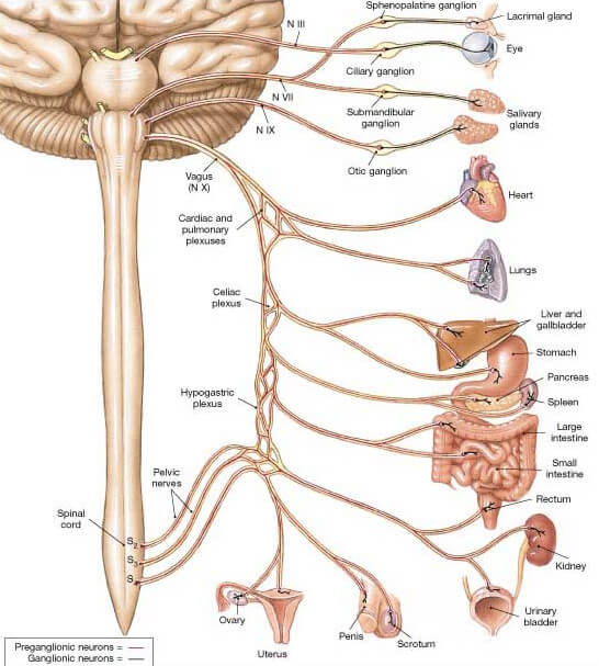 vagus nerve - location, stimulation, disorders and test, Cephalic Vein