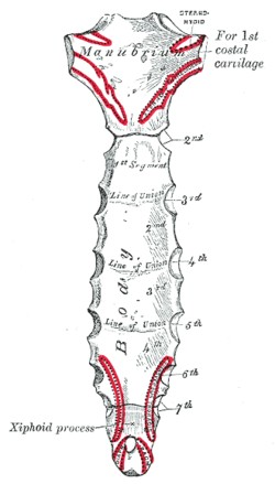Posterior Surface of the Sternum and Articulations with the Costal Cartilages anatomy photo