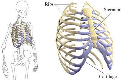 Sternum, Costal Cartilages, and Ribs anatomy image