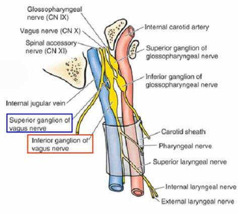 Superior and Inferior Ganglia and the Carotid Sheath photo