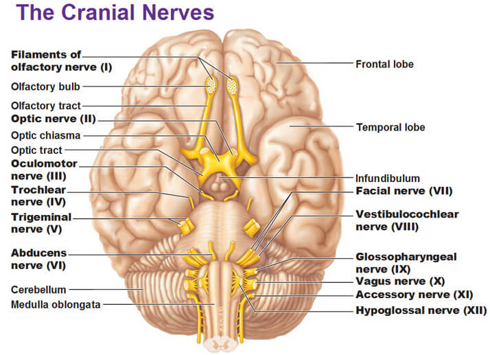 The Cranial Nerves picture