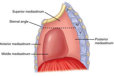 Division of mediastinum picture