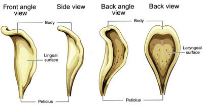 Epiglottis in Different Views picture