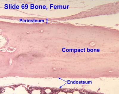 Histology of the bone showing periosteum and endosteum photo