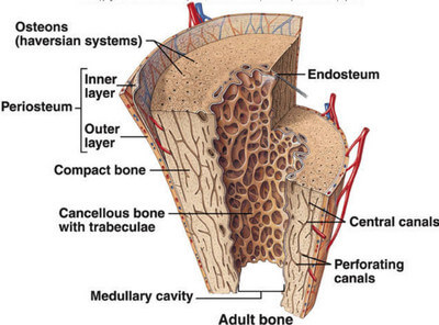 endosteum : definition, function, histology, vs periosteum, Human Body