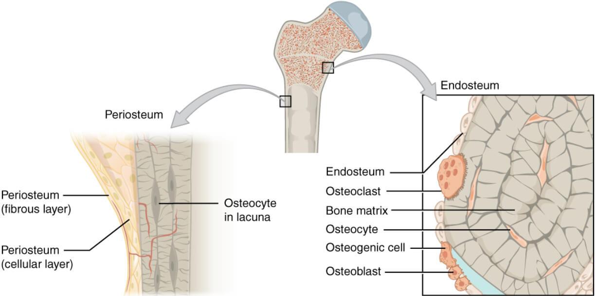 Endosteum Definition Function Histology Vs Periosteum
