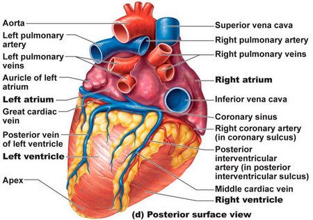 Anterior Surface Of The Heart Diagram Blank Circuit Diagram Symbols