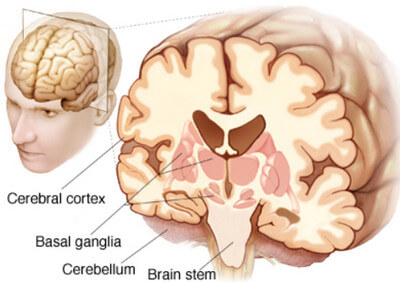 Structure of the Brain and Location of the Basal Ganglia picture