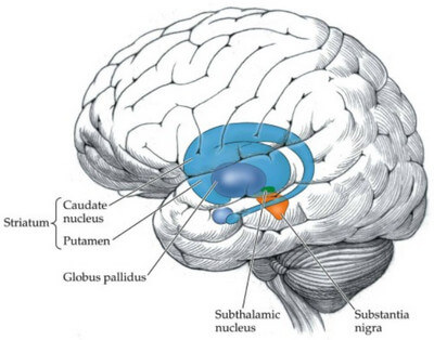 The Basal Ganglia image
