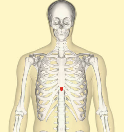 The xiphoid process is colored red image