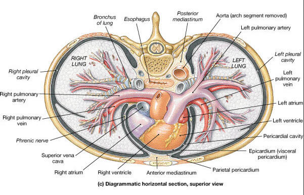 Where is the heart located boundaries and surface anatomy transverse section at the level of heart image ccuart Choice Image