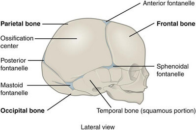 Lateral skull of a newborn shows no mastoid process picture