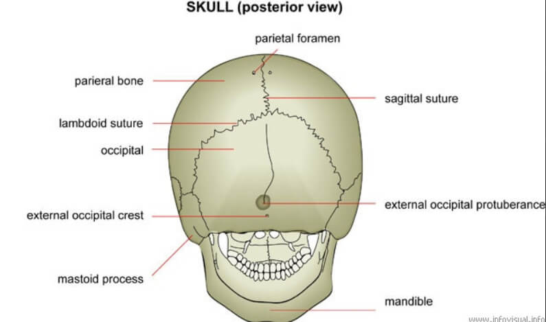 Posterior View of the Skull showing the Mastoid Process picture