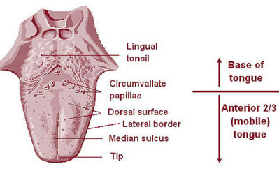 The Dorsum of the Tongue image