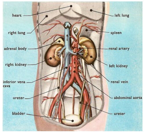 Kidney Pain And Location on human adrenal gland