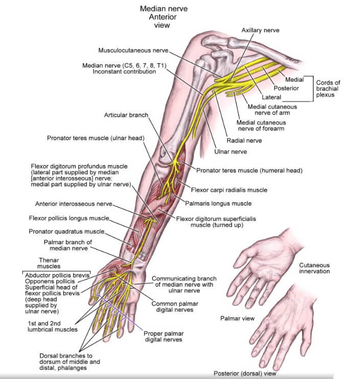 Forearm Pain (Lower Arm) Causes – Muscles, Nerves and Bones