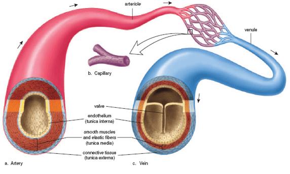 artery vs vein vs capillary
