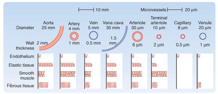 blood vessel measurements