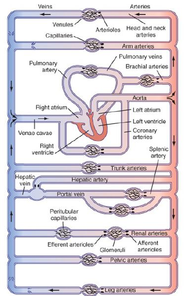 schematic diagram of circulatory system