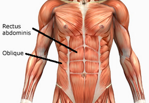 rectus abdominis muscle.picture