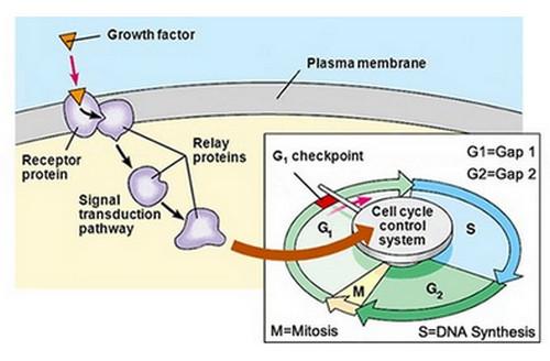 A pathophysiologic presentation of growth factors.image