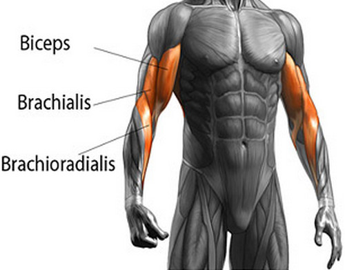 Outlining the different muscles of the arms.image