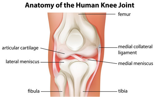Anatomy of the knee joints pictures